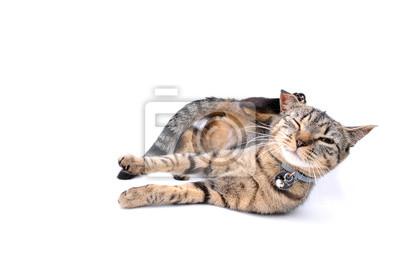 Tabby, adulte, chat, séance, isolé, devant, blanc, fond