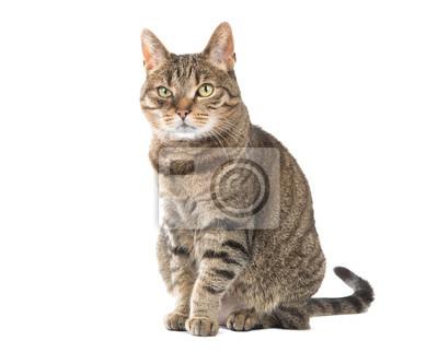 Tabby chat adulte séance isolé au fond blanc