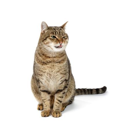 Tabby chat assis sur fond blanc et spotrit vers sa langue.