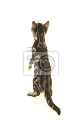 Tabby chaton vu sur le dos en levant isolé sur fond blanc