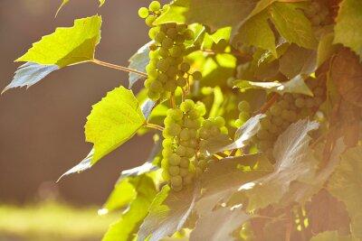 tas fraîche de raisins blancs sur le terrain
