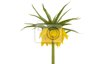 Tête de fleur impériale couronne jaune floraison isolé sur fond blanc