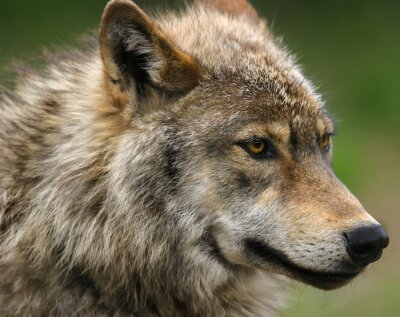 Papiers peints Tête de la tête du loup gris.