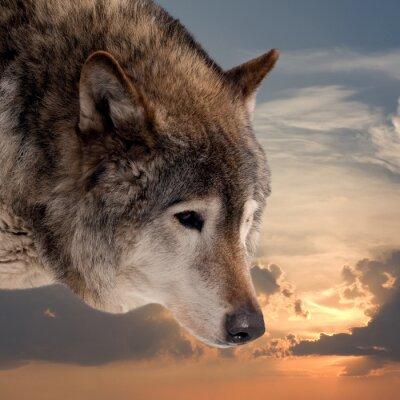 Papiers peints Tête, loup, contre, Coucher soleil, ciel