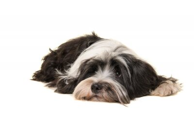 Tibetan terrier lying down on the floor isolated on a white background
