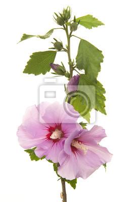 Tige avec des feuilles et des fleurs d'hibiscus roses isolées sur un fond blanc