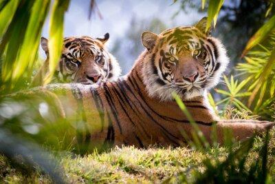 Papiers peints Tiger Brothers