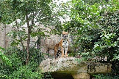 Papiers peints Tiger est un taux féroce.