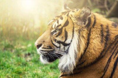 Papiers peints Tiger im Seiten Profil avec Sonne in Gesicht