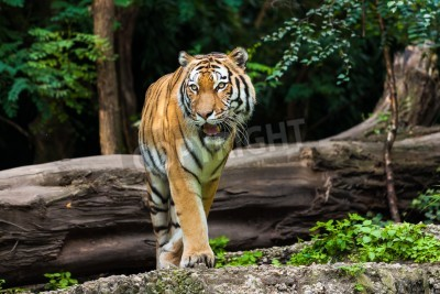 Papiers peints tigre