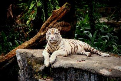 Papiers peints Tigre allongé