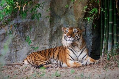 Papiers peints Tigre, bengale, forêt