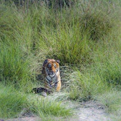 Papiers peints Tigre, bengale, national, Parc, Népal