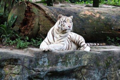 Papiers peints Tigre blanc 4