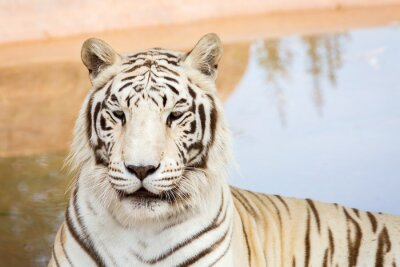 Papiers peints Tigre blanc au zoo