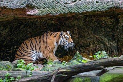 Papiers peints Tigre dans la caverne