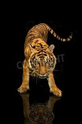 Papiers peints Tigre, marche, noir, fond