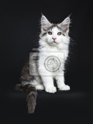 chatte blanche avec la queue noire
