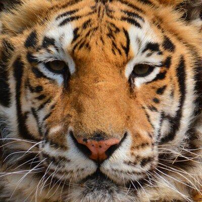Papiers peints Tigre, portrait