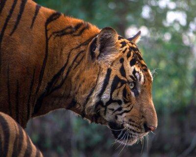 Papiers peints Tigre, portrait, bengal, tigre