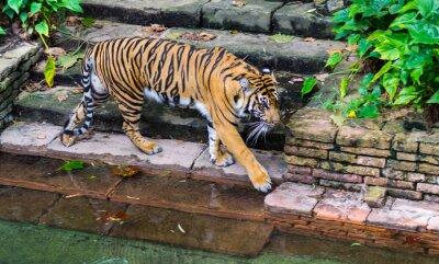 Papiers peints Tigre près d'un trou d'eau