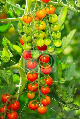 Tomates cerises fraîches et biologiques dans le jardin