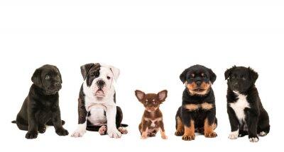 Tout type de race mignonne différente de chiots isolés sur un fond blanc, comme un chihuahua, rottweiler, border collie, labrador et un bouledogue anglais