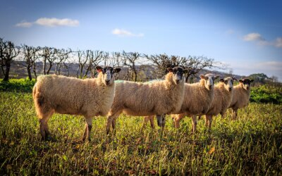 Papiers peints Tradycyjne angielskie owce