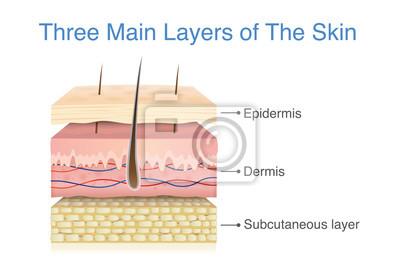 Papiers peints Trois couche principale de la peau humaine. Illustration sur le schéma médical.