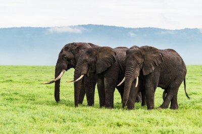 Papiers peints Trois, éléphants, debout, rang, Ngorongora, cratère, plancher