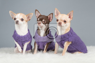 Trois, mignon, séance, chihuahua, chiens, porter, pourpre, tricoté, chandails, gris, fond