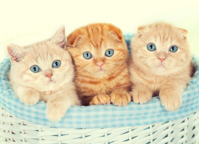 Papiers peints Trois petits chatons dans le panier
