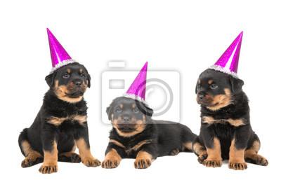 Trois, rottweiler, chiot, chiens, Porter, rose, célébration, chapeaux, isolé, blanc, fond