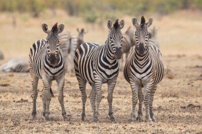 Papiers peints Trois, zèbres, Kruger, Parc, sud, afrique