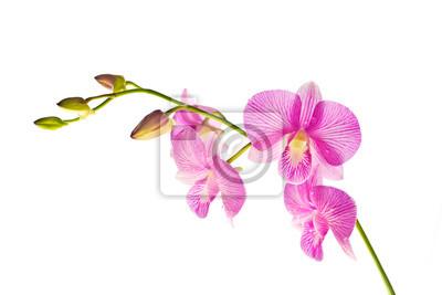 Tropical Rose Streaked Orchidee Fleur Isole Blanc Fond Papier
