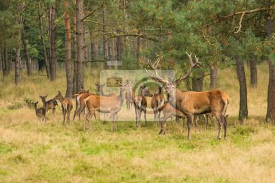 Troupeau de cerfs dans la forêt avec onde male cerf de cerf cerf gardant le troupeau