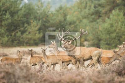 Troupeau de daims rouges avec un mâle sur le devant en bruyère avec arbres au fond