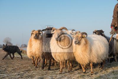 Troupeau de moutons rural avec un chien de berger sur une journée d'hiver avec un ciel bleu