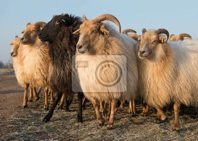 Troupeau, rural, mouton, différent, blanc, une, noir, mouton