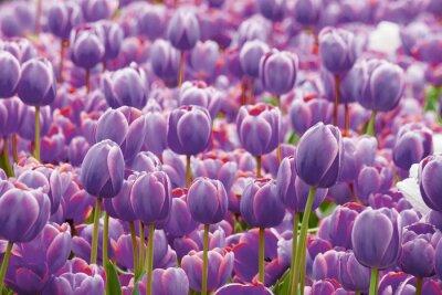 Papiers peints Tulipe