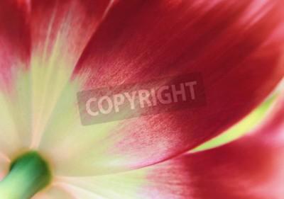 Papiers peints Tulipe rouge bouchent, fond de printemps abstrait