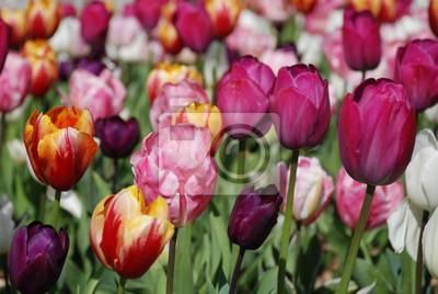Papiers peints Tulipes du parc de la Briantais