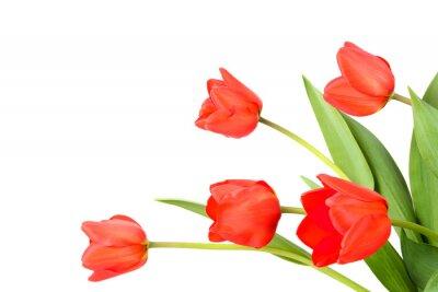 Papiers peints Tulipes sur un fond blanc