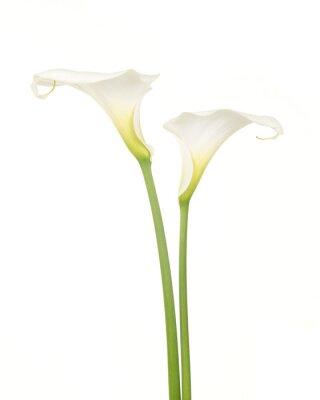 Twee Witte bloemen calla aronskelk tegen een Witte achtergrond