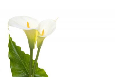 Two blooming cala lilly flowers with green leaf isolated on a white background
