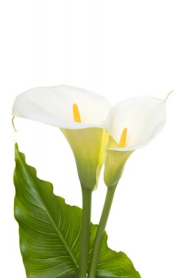 Two blooming calla lilly flowers with green leaf isolated on a white background with copy space in a vertical image