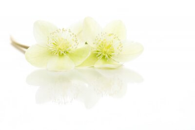 Two blooming christmas rose flowers with reflection lying isolated on a white background
