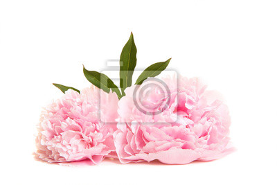 Two blooming pink peony flowers lying on a white background