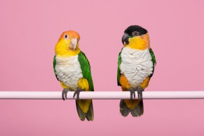 Two caique birds looking at each other on a pink background