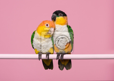 Two caique birds sitting together on a pink background